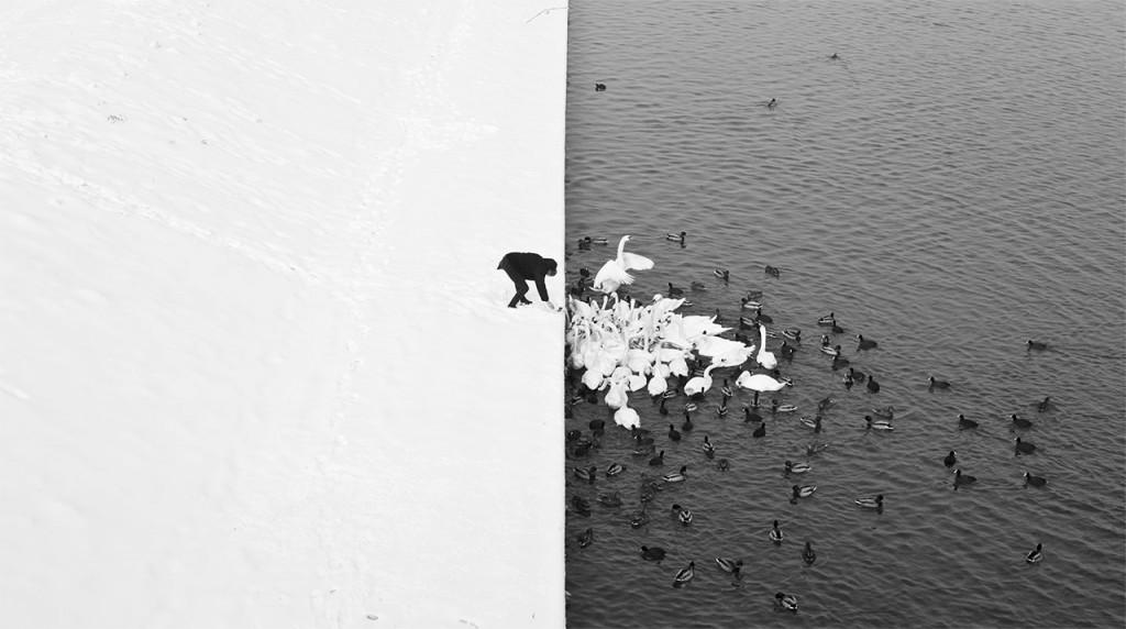 man-feeding-swams