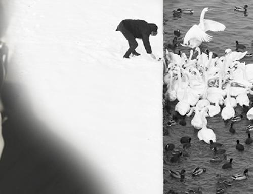 Man Feed Swans